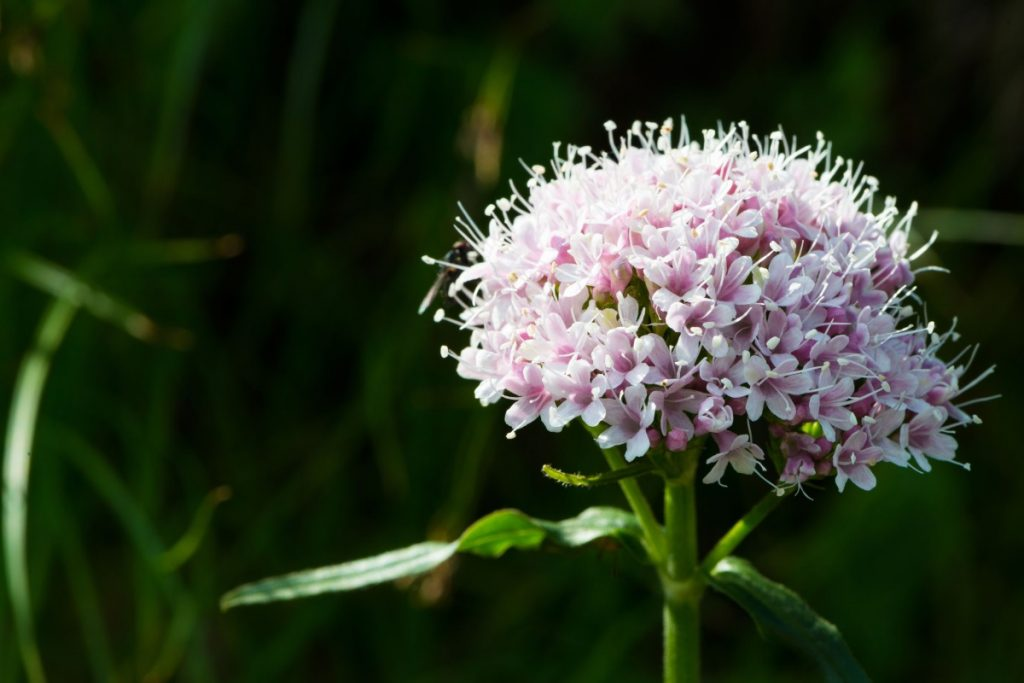 Valeriana, o plantă cu beneficii miraculoase