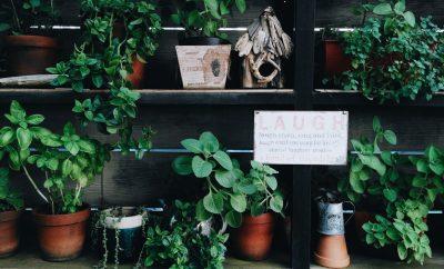 plante care alunga tantarii