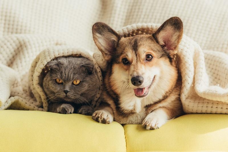 cute welsh corgi dog and cat lying under blanket on sofa
